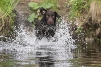 Wer ein typischer Labrador ist, liebt auch das Wasser. Lennox ist da keine Ausnahme. Er liebt es im Wasser zu toben, und inzwischen ist er auch in diesem Bereich ein ausgezeichneter Sportler geworden - ein Multitalent, wie es im Buche steht.